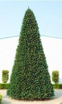 20' Classic Sequoia Tree with Metal Stand